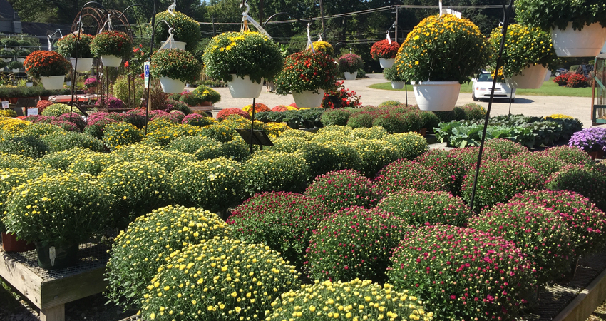 Mums Fall Decor Whiteford Greenhouse Open Daily 4554 Whiteford