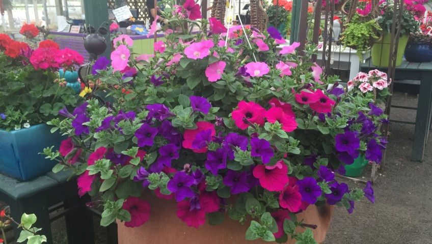Wave hanging baskets whiteford greenhouse open daily 4554 wave hanging baskets mightylinksfo