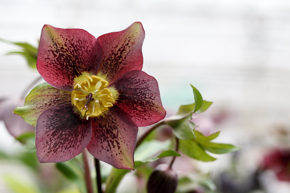 Hellebore-whiteford-greenhouse-4