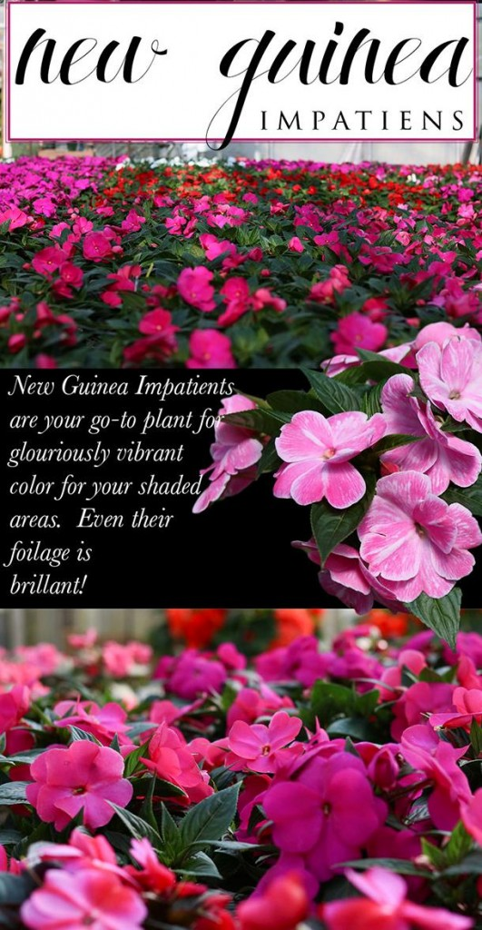 Toledo best quality New Guinea Impatiens